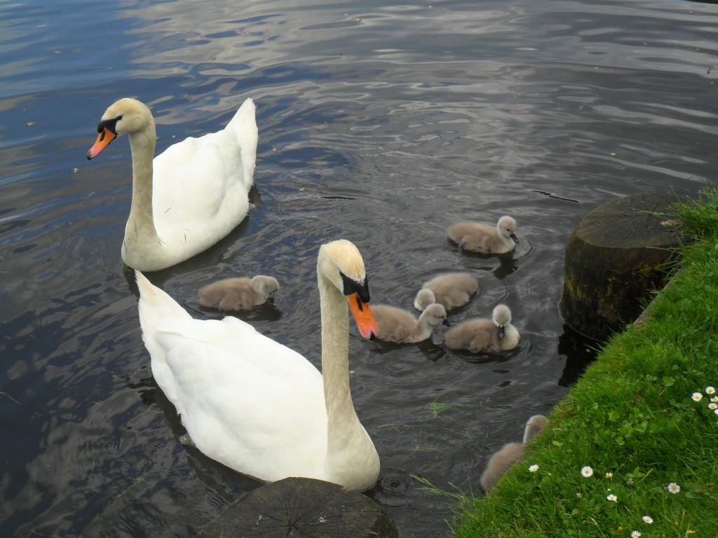 Лебеди в парке Любека
